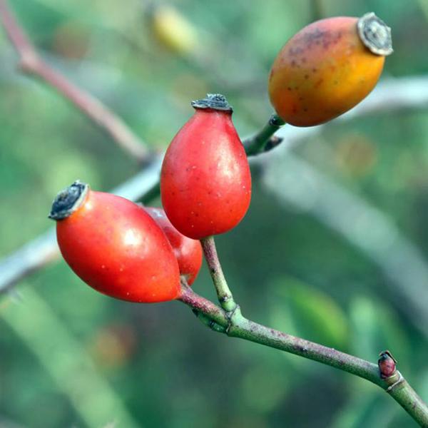 Dog rose fruit