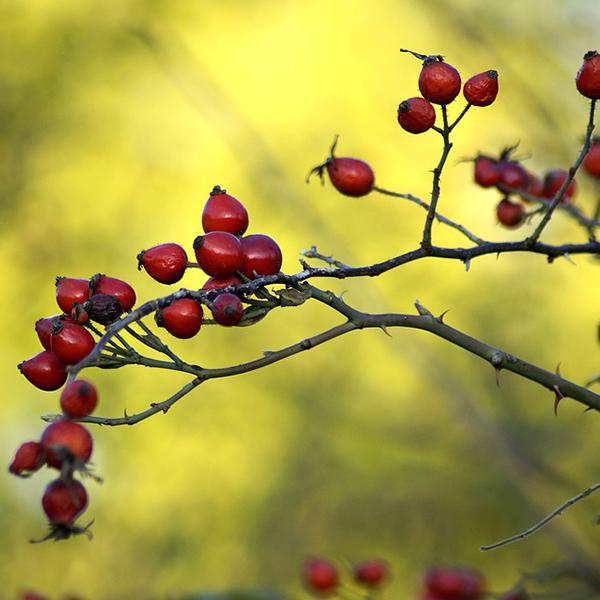 Rose canina fruit